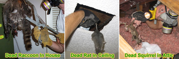 Dead Animal Inside House Removal Information Amp Facts