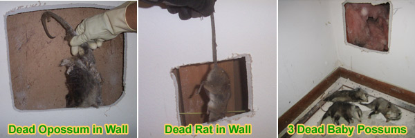 Dead Rodent Rat Or Mouse Smell In House Or Walls