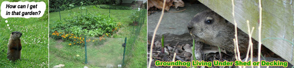 How to keep groundhogs away from your yard garden shed How do you keep rabbits out of your garden