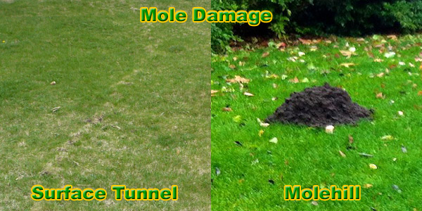 how to get rid of moles in the yard or lawn