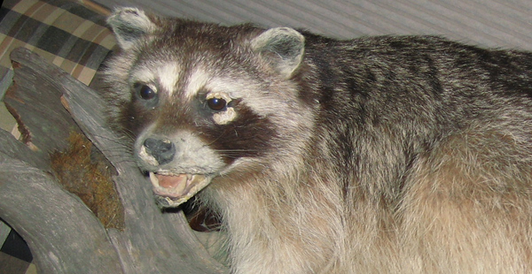What To Do If You Are Bitten By A Raccoon