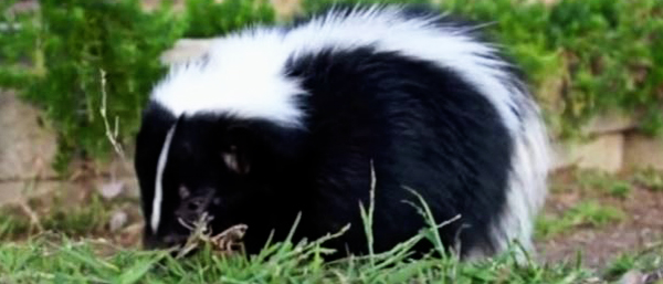 Where To Relocate a Trapped Skunk?