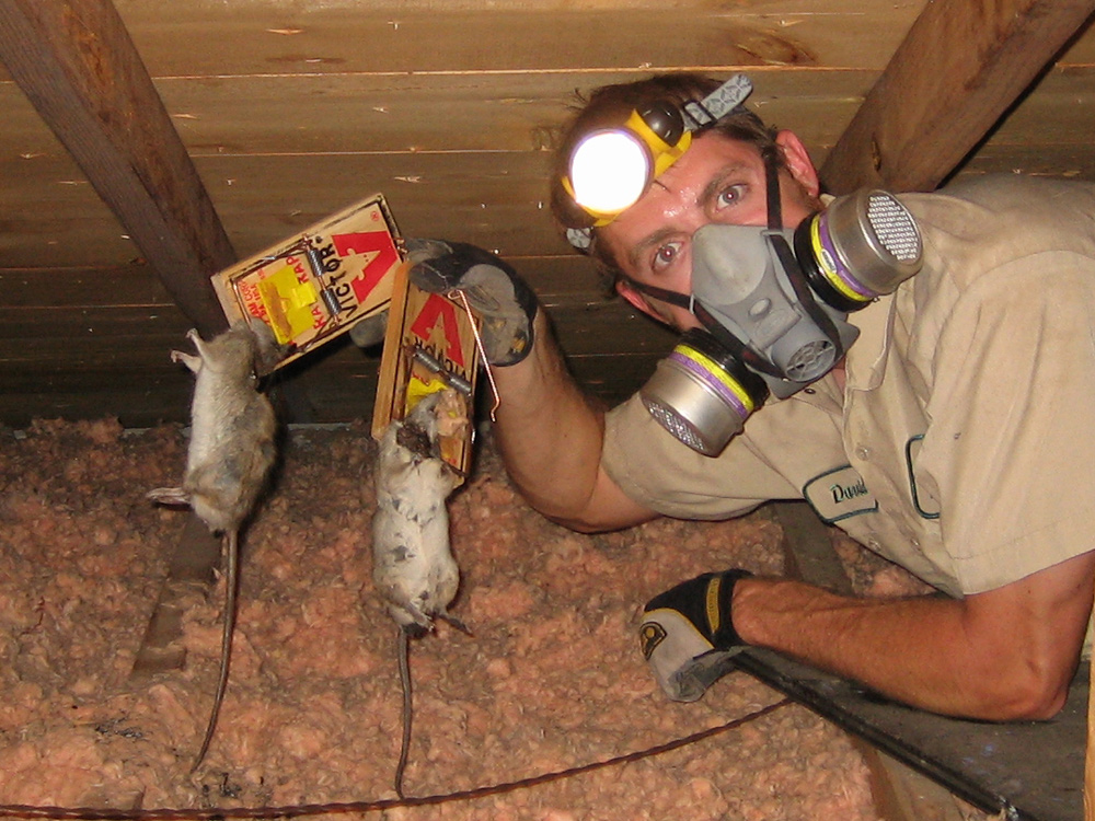 Wildlife Photograph Rat Trapping In An Attic